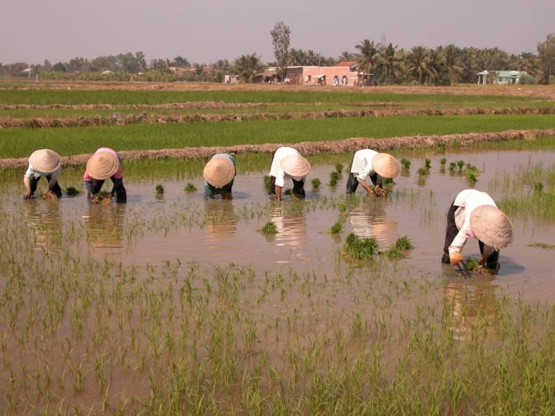 איכרים מעבדים את אדמתם - וייטנאם