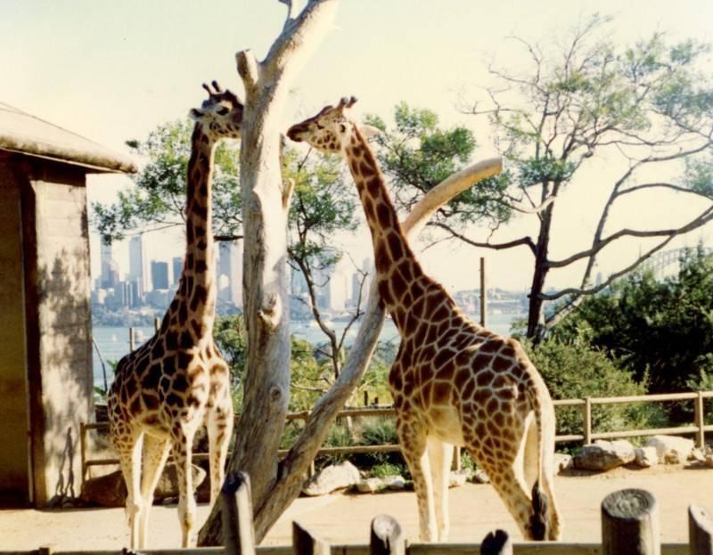 גן חיות טורונגה סידני. צילמה: סיגל לוי