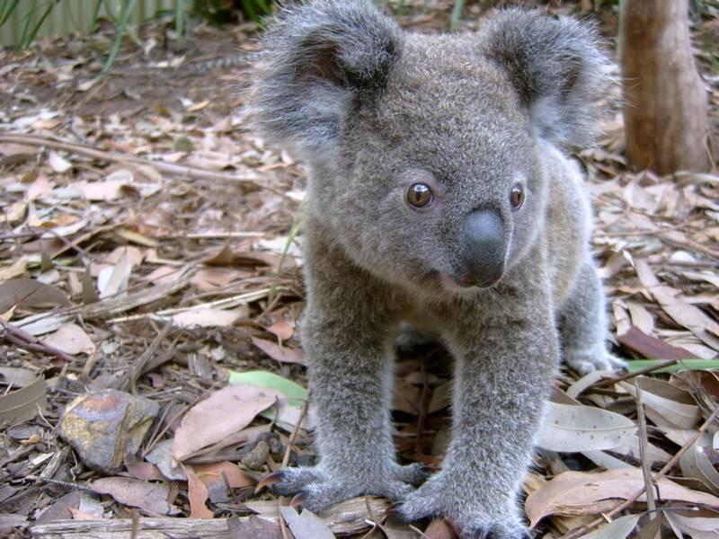 דוב קואלה בפארק הזוחלים. צילום: Australian Reptile Park