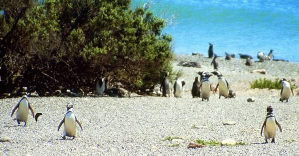 מושבת הפינגווינים של ולדז מתארגנת להמשך היום
