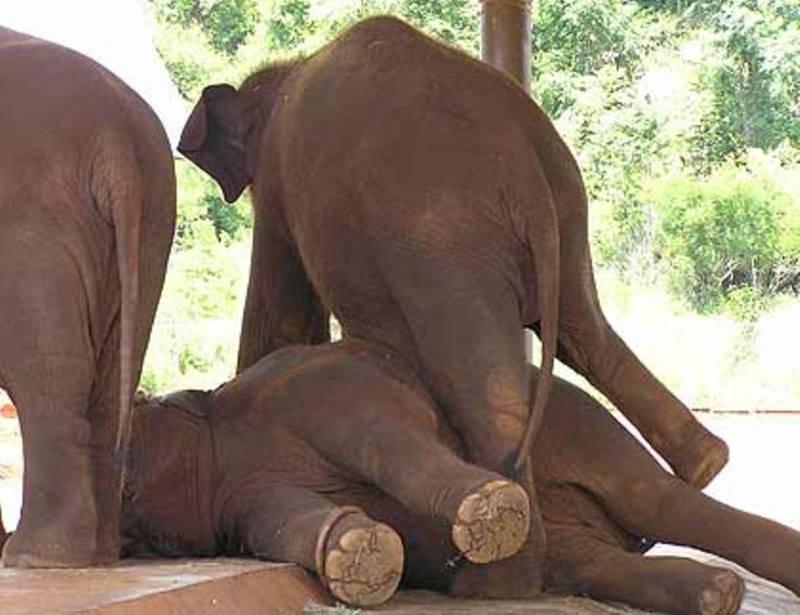 פילים משתעשעים בגן החיות טורונגה