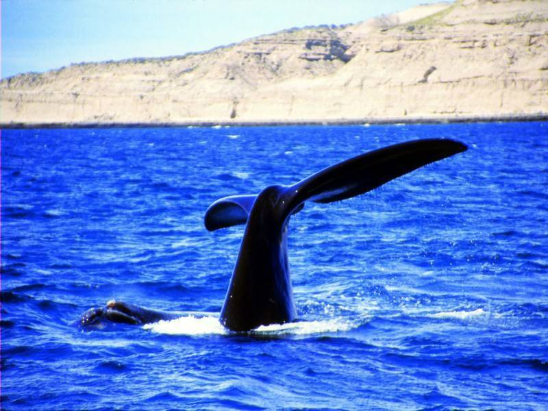 ליווייתנים בפעולה לא רחוק מהחוף