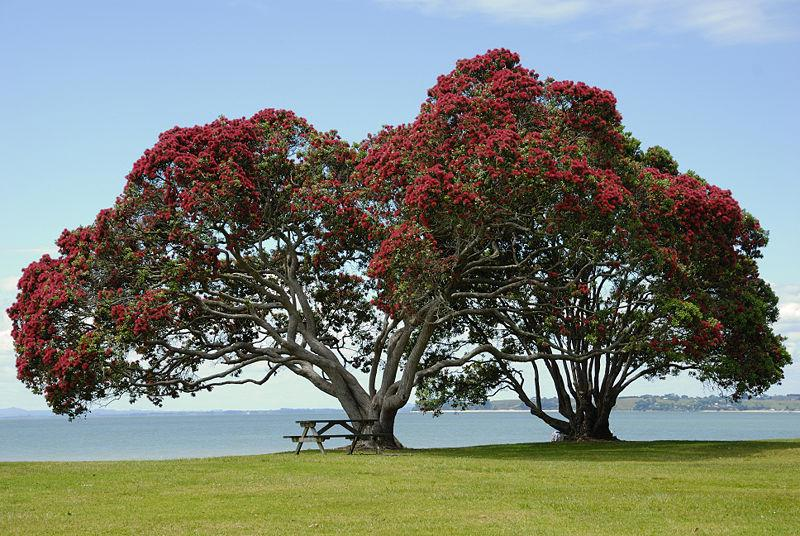 Pōhutukawa Tree taken at Cornwallis Beach , West Auckland