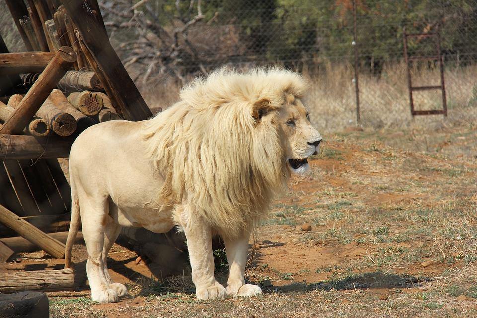 אריה יפה