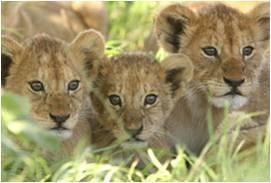 גורי אריות בטבע